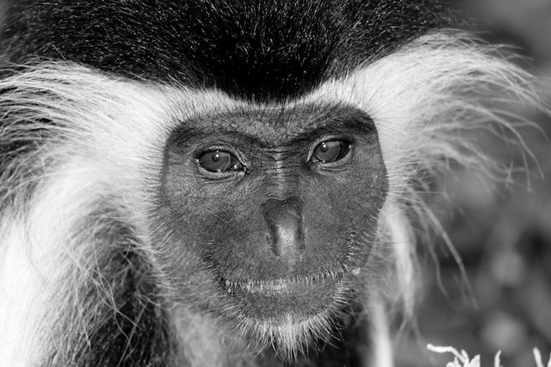 Top 10: 10. Colobus Monkey