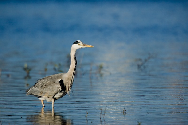 The also-rans: Herons, a success story