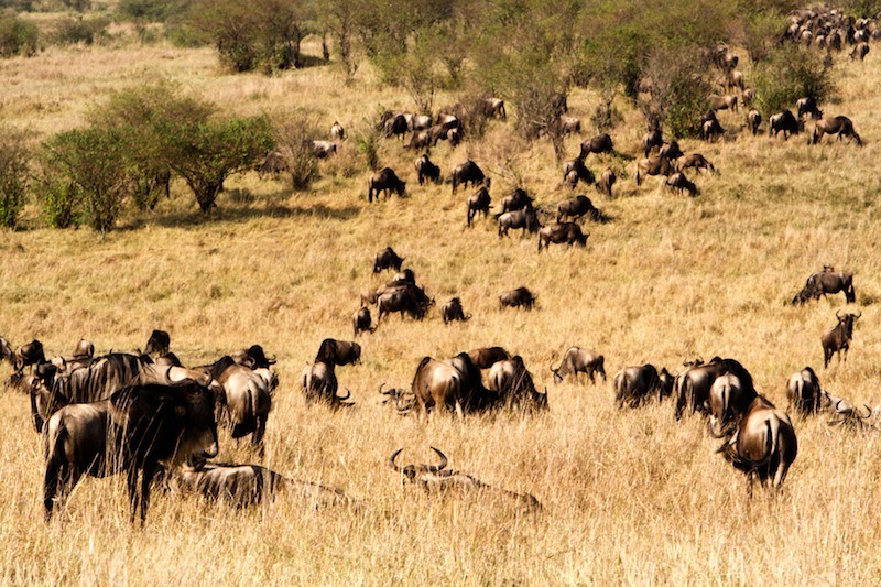 The also-rans: Travelling herd