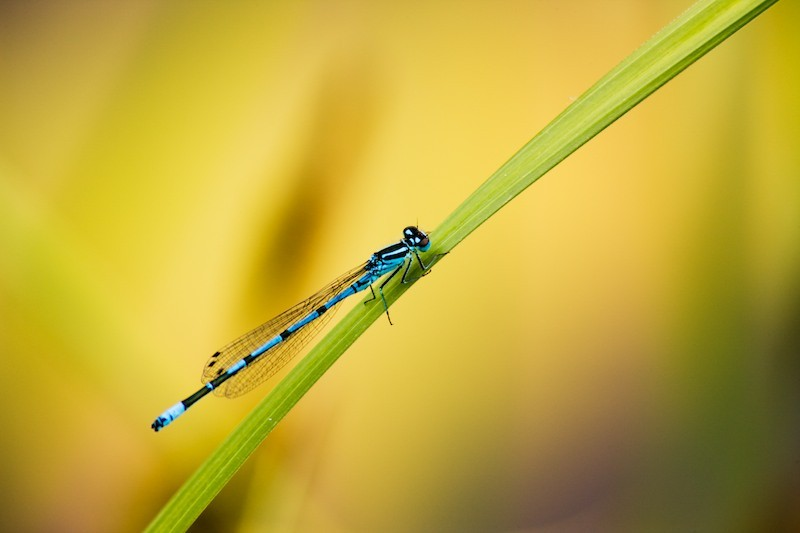 Top 10: 4. Male azure damselfly