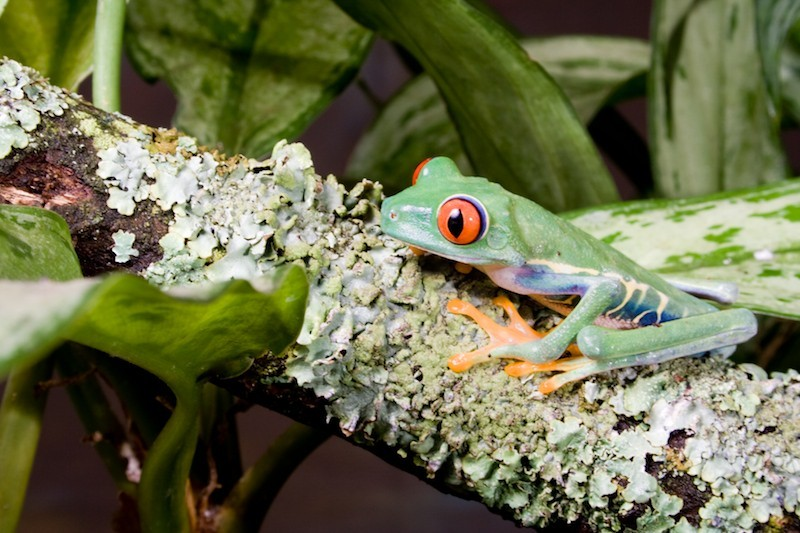 Colour: Red eyed tree frog