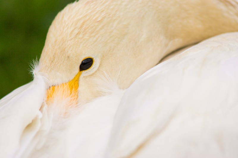Colour: Whooper swan, preening