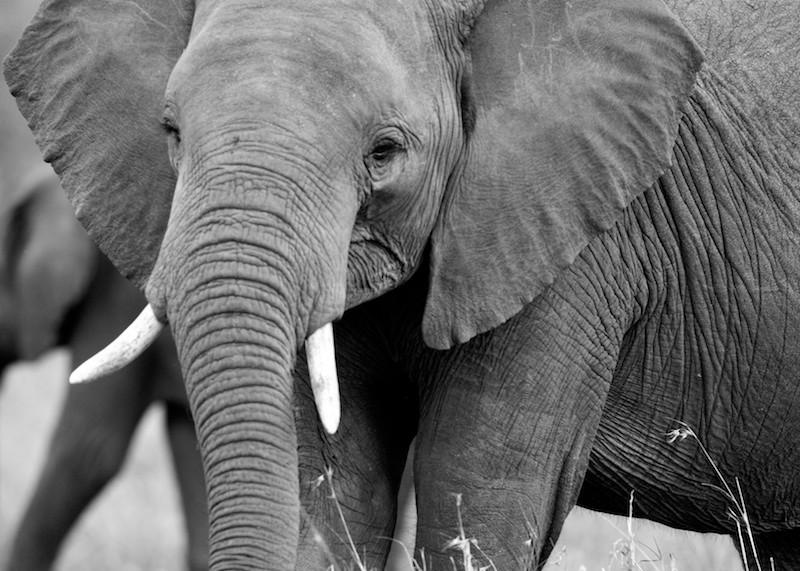 Africa's giant