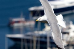 Animals to learn to love #1  gull over Monaco