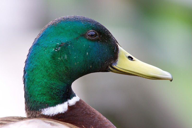 Common as duck
