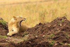 A dangerous time for a young lion