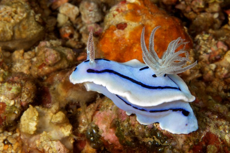 Chromodoris willani, as if I could care