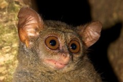 The otherworldly Tarsier