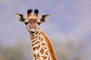 Everyone sees a giraffe on safari – right?