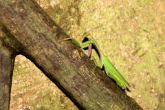 Things you wouldn't like to be 1 - Praying Mantis